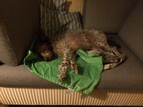 Schlafender kleiner Hund auf der Couch i Ferienhaus