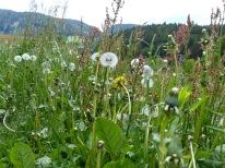 Blumenwiese für die Rinder