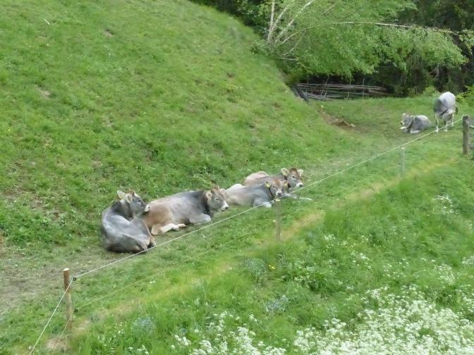 Rinder in den Alpen