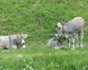 Alpenrinder auf der Weide