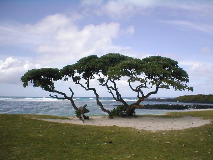 windschiefer Baum am Strand von Mauritius