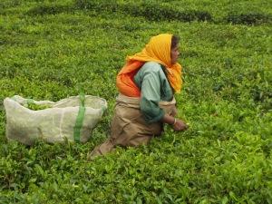 Teepflückerin auf Mauritius