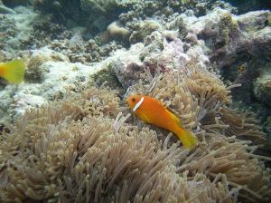 Der Clownfisch und seine Anemone