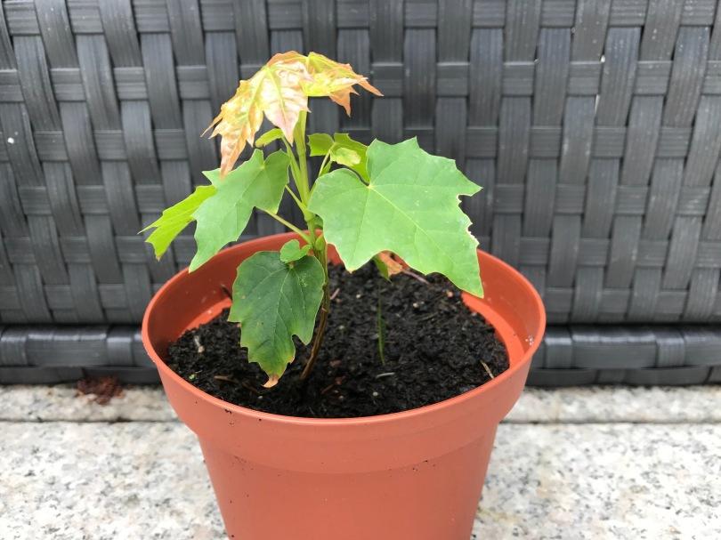 Baumkeimling mit wenigen Blättern, vermutlich ein Ahorn
