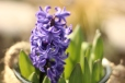 Frühling Hyazinthe