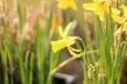 Frühling Narzisse 2