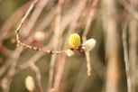 Frühling Weidenkätzchen 2