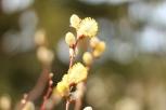 Frühling Weidenkätzchen 1