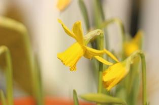 Frühling Narzisse 1